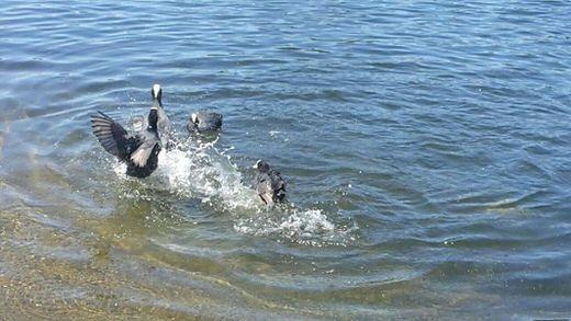 Ducks in Serpentine lake, in Hyde Park, London.
