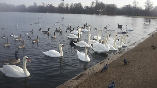 Ducks and swans in Pond lake, in Hyde Park, London.