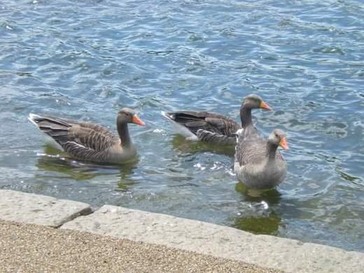 Ducks in Pond lake, in Hyde Park, London.